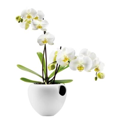 Orkidekruka vit
