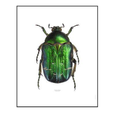 Gräsgrön Guldbagge poster